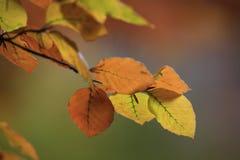 De Bladeren van de beukboom Stock Foto's