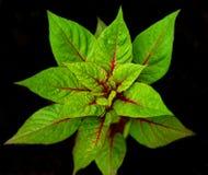 De bladeren van de biet. Royalty-vrije Stock Foto