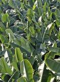 De Bladeren van de Boom van de banaan Stock Fotografie