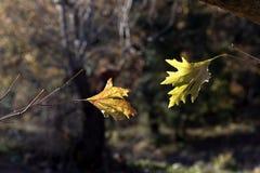 De bladeren van de boomsycomoor Royalty-vrije Stock Foto