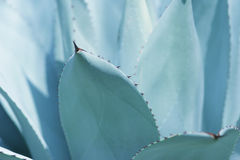 De bladeren van de cactus stock foto