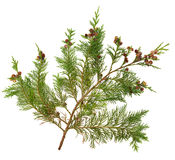 De Bladeren van de ceder Royalty-vrije Stock Afbeelding