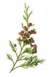 De Bladeren van de ceder royalty-vrije stock afbeeldingen