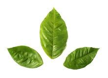 De bladeren van de citroen Stock Afbeeldingen