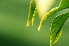 De bladeren van de citroen in zonneschijn Stock Afbeelding