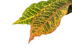 De bladeren van de Crotoninstallatie die op achtergrond worden geïsoleerd Stock Afbeeldingen