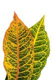 De bladeren van de Crotoninstallatie die op achtergrond worden geïsoleerd Royalty-vrije Stock Afbeeldingen