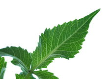 De bladeren van de dahlia Royalty-vrije Stock Afbeeldingen