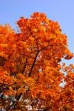 De bladeren van de daling op een boom Royalty-vrije Stock Fotografie