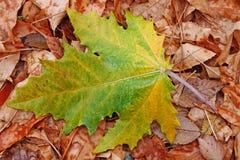 De Bladeren van de Daling van de herfst Stock Foto