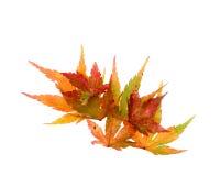 De bladeren van de dalingsesdoorn Stock Fotografie