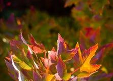 De bladeren van de dalingsesdoorn Royalty-vrije Stock Afbeeldingen