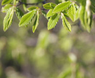 De bladeren van de de beukboom van de lente Royalty-vrije Stock Fotografie