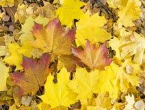 De bladeren van de de herfstesdoorn stock afbeelding