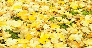 De bladeren van de de herfstesdoorn Stock Afbeeldingen