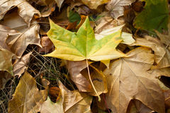 De bladeren van de de herfstesdoorn Royalty-vrije Stock Foto's