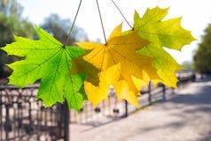 De bladeren van de de herfstesdoorn Stock Foto's