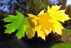 De bladeren van de de herfstesdoorn Stock Fotografie