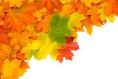 De bladeren van de de herfstesdoorn op wit, dalingsachtergrond worden geïsoleerd die Stock Foto's