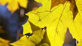 De bladeren van de de herfstesdoorn Sluit omhoog stock video