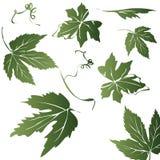 De bladeren van de druif Stock Foto's