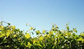 De bladeren van de druif stock fotografie