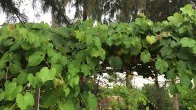 De bladeren van de druif stock videobeelden