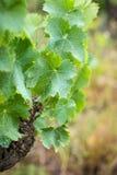 De bladeren van de druif Stock Afbeelding