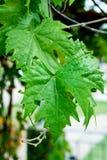 De bladeren van de druif Royalty-vrije Stock Fotografie