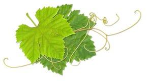 De bladeren van de druif Royalty-vrije Stock Afbeeldingen