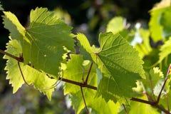 De bladeren van de druif in aangestoken achter royalty-vrije stock afbeelding
