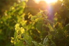 De bladeren van de druif in zonsondergang Stock Afbeeldingen