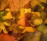 De bladeren van de esdoorn Stock Afbeeldingen