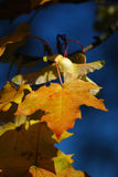 De bladeren van de esdoorn Royalty-vrije Stock Foto