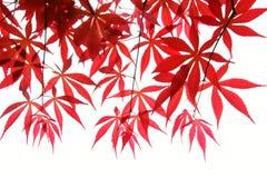 De bladeren van de esdoorn Stock Afbeelding