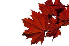De bladeren van de esdoorn Stock Foto