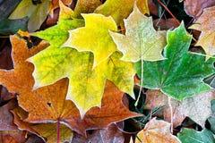 De bladeren van de esdoorn Stock Fotografie