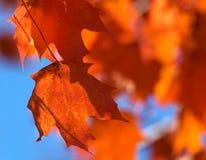 De bladeren van de esdoorn royalty-vrije stock foto's