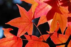 De bladeren van de esdoorn Stock Foto's