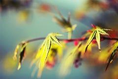 De bladeren van de esdoorn & blauwe hemel Stock Afbeelding