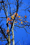 De Bladeren van de esdoorn in Daling Stock Afbeelding