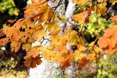 De bladeren van de esdoorn in daling royalty-vrije stock afbeeldingen