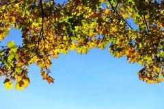 De bladeren van de esdoorn, de gouden herfst Royalty-vrije Stock Afbeelding
