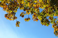 De bladeren van de esdoorn, de gouden herfst Royalty-vrije Stock Fotografie