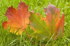 De bladeren van de esdoorn in de Herfst Stock Foto