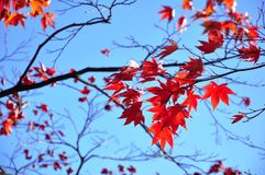 De bladeren van de esdoorn in de herfst Royalty-vrije Stock Afbeeldingen
