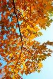 De bladeren van de esdoorn in de herfst Royalty-vrije Stock Foto