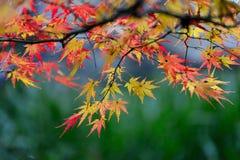 De bladeren van de esdoorn in de herfst Stock Afbeelding