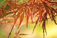 De bladeren van de esdoorn in de lente Stock Foto