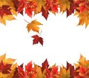 De bladeren van de esdoorn die op wit worden geïsoleerde Stock Afbeelding